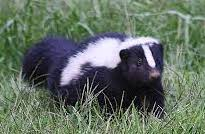 Skunk in grass, wildlife