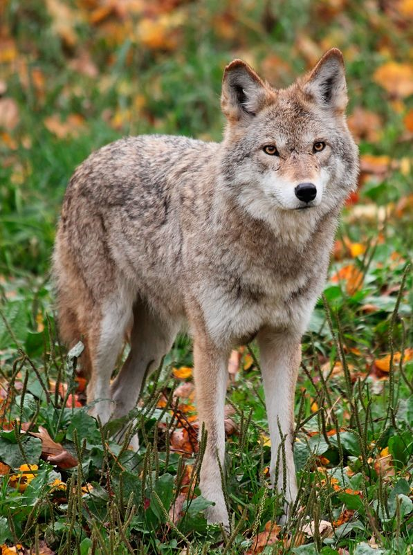 Coyote standing in grass looking at camera