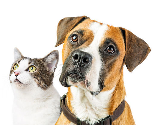 A boxer dog and white and gray cat looking up with great interest