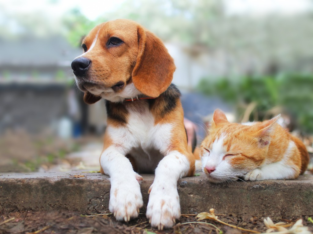 beagle and cat resting